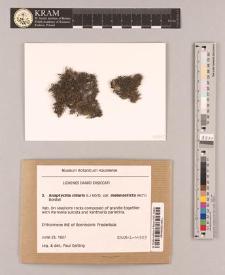Anaptychia ciliaris (L.) Korb var. melanosticta (Ach.) Boistel