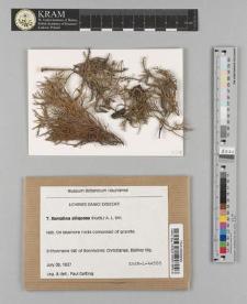 Ramalina siliquosa (Huds.) A. L. Sm.