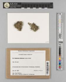 Cladonia foliacea (Huds.) Willd.