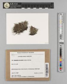 Cladonia furcata (Huds.) Schrad.