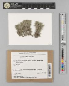 Cladonia arbuscula (Wallr.) Flot. subsp. squarrosa (Wallr.) Ruoss