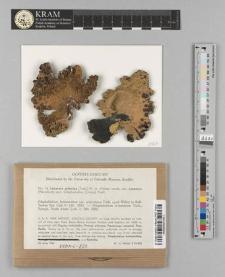 Lecanora arizonica (Tuck. ex Willey) W.A. Weber