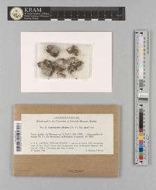 Leprocaulon albicans (Th. Fr.) Nyl.