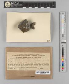 Caloplaca coronata (Kremp. ex Körb.) Steiner