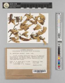 Dactylina arctica (Hook.) Nyl.