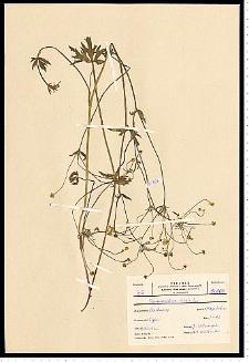 Ranunculus acris L.