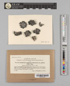 Umbilicaria subglabra Harmand var. pallens (Nyl.) Frey