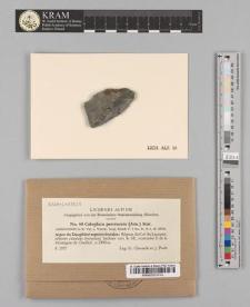 Caloplaca percrocata (Arn.) Stnr.