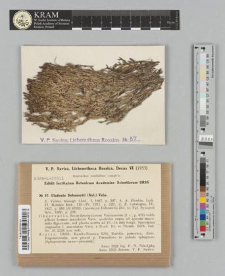 Cladonia delessertii (Nyl.) Vain.