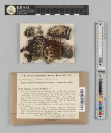 Siphula ceratites (Wahlenb.) Fr.