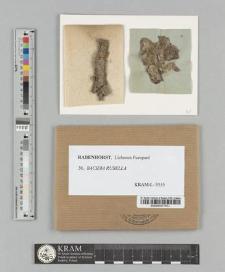 Bacidia rubella (Ehrh.) Massal.