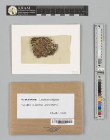 Cladonia alcicornis (Lightf.) Fr.