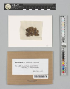 Cladonia alcicornis (Lightf.) Fr. fo. cladomorpha (Ach.)