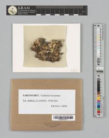 Cladonia turgida (Ehrh.)