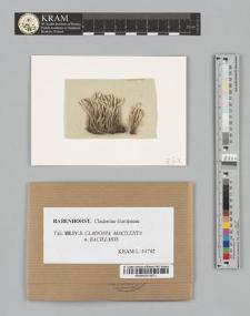 Cladonia macilenta (Ehrh.) Hoffm. subsp. α. bacillaris (Ach.)