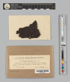 Cetraria hepatizon (Ach.) Vain.