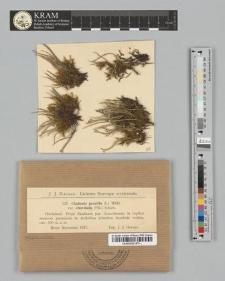 Cladonia gracilis (L.) Willd. var. chordalis (Flk.) Schaer.