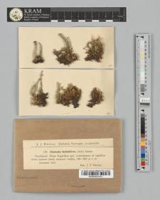 Cladonia bellidiflora (Ach.) Schaer.