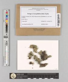 Peltigera leucophlebia (Nyl.) Gyeln.