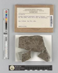 Verrucaria sp.