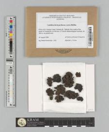 Umbilicaria hyperborea (Ach.) Hoffm.