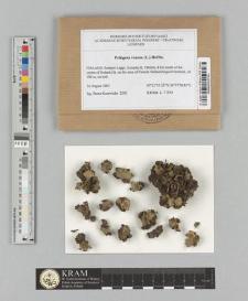 Peltigera venosa (L.) Hoffm.