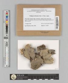 Peltigera extenuata (Nyl. ex Vain.) Lojka