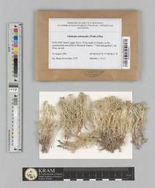Cladonia arbuscula (Wallr.) Flot.