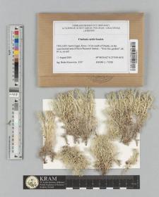 Cladonia mitis Sandst.