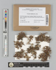 Cetraria islandica (L.) Ach.