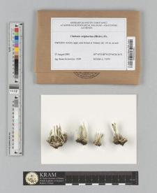 Cladonia sulphurina (Michx.) Fr.