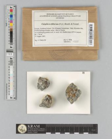 Caloplaca obliterans (Nyl.) Blomb. & Forssel
