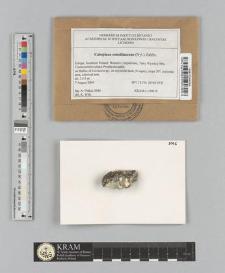 Caloplaca conciliascens (Nyl.) Zahlbr.
