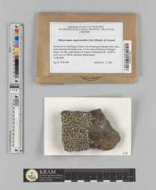 Rhizocarpon eupetraeoides (Nyl.) Blomb. & Forssell
