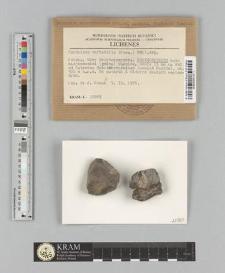 Caloplaca variabilis (Pers.) Müll. Arg.