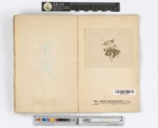Nitella batrachosperma A. Braun