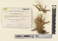 Breutelia subgnaphalea (C. Müll.) Par.