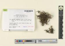 Braunia arbuscula (Welw. & Duby) Gepp in Hiern.