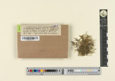 Neckeropsis distcha (Hedw.) Fl.