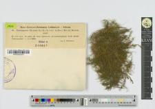 Cratoneuron filicinum (L.) Roth. var. fallax (Brid.) Mnkm.