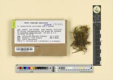Limprichtia revolvens (Sw.) Loeske