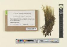 Calliergon giganteum (Schimp.) Kindb.