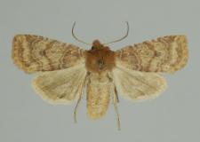 Conistra ligula (Esper, 1791)