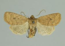 Conistra vaccinii (Linnaeus, 1761)