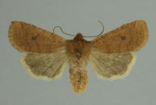 Conistra (Conistra) vaccinii (Linnaeus, 1761)