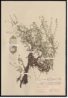 Myosotis caespitosa Schultz