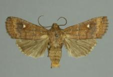 Eupsilia transversa (Hufnagel, 1766)