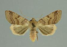 Agrochola helvola (Linnaeus, 1758)