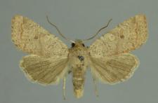 Agrochola laevis (Hübner, 1803)