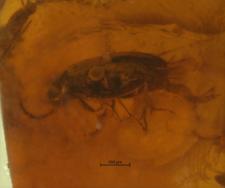 Ptinidae (Anobiinae)